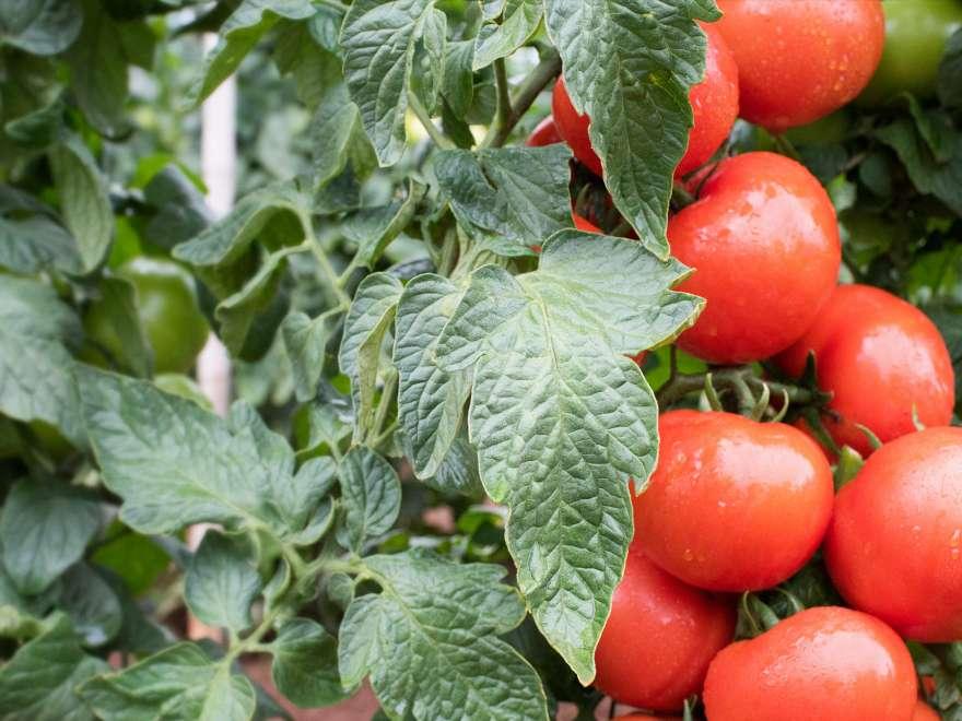 tomates em horta
